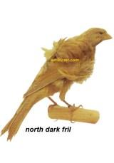 Burung kenari north dark fril