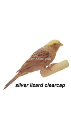Burung kenari silver lizard clearcap