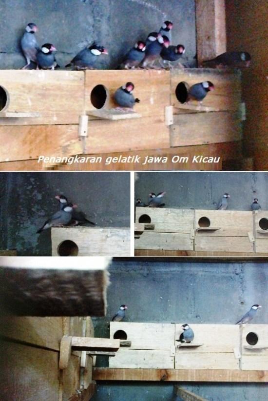 belasan pasang burung gelatik jawa di penangkaran om kicau
