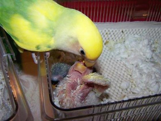 Burung lovebird meloloh anakan