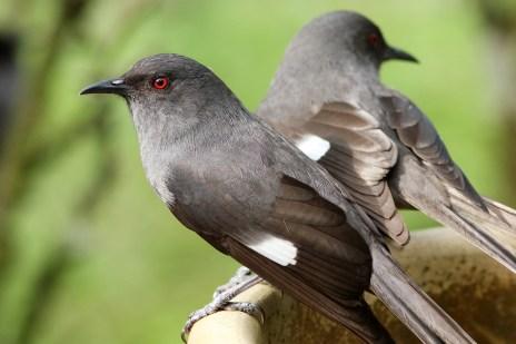 burung murai besi - murai air - air mancur - Long tailed Sibia - Heterophasia picaoides (11)
