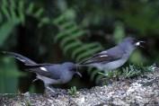 burung murai besi - murai air - air mancur - Long tailed Sibia - Heterophasia picaoides (14)
