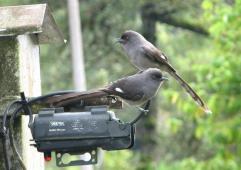 burung murai besi - murai air - air mancur - Long tailed Sibia - Heterophasia picaoides (3)