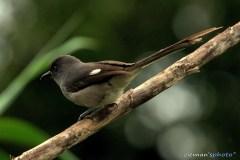 burung murai besi - murai air - air mancur - Long tailed Sibia - Heterophasia picaoides (4)