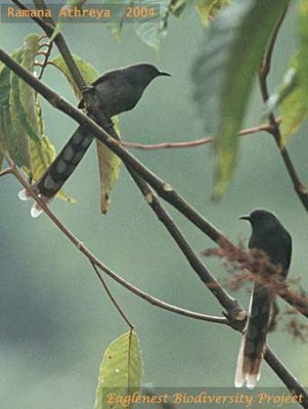 burung murai besi - murai air - air mancur - Long tailed Sibia - Heterophasia picaoides (5)