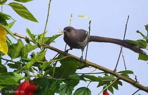 burung murai besi - murai air - air mancur - Long tailed Sibia - Heterophasia picaoides (9)