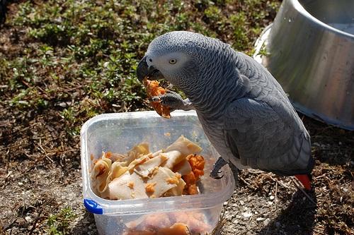 Burung paruh bengkok kasdang perlu makanan dalam bentuk bubur