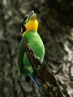 Suara dan galeri foto cantik burung suku pengicau dari