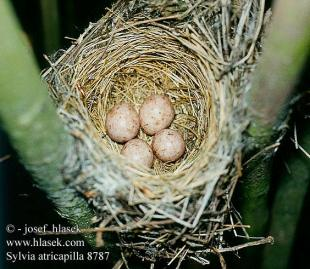 Sarang dan telur Sylvia atricapilla