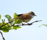 Whitethroat - jantan2