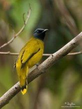 Pycnonotus atriceps atau cucak kuricang atau burung cep-cep 3