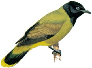 Pycnonotus atriceps atau cucak kuricang atau burung cep-cep 4