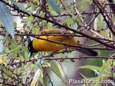 Pycnonotus atriceps atau cucak kuricang atau burung cep-cep 6