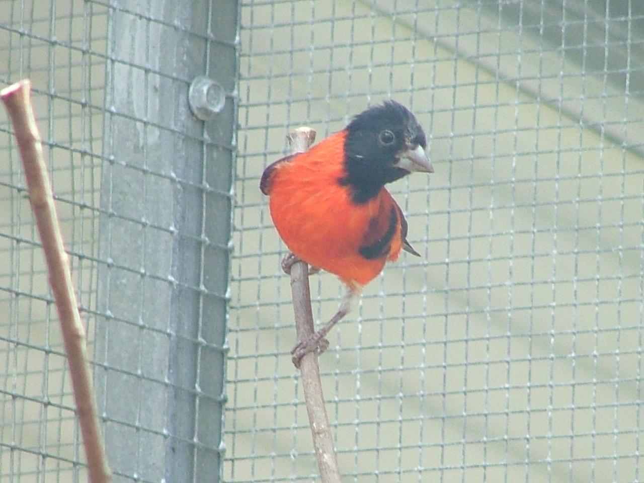 Siskin Merah Burung Langka Dilindungi Diuber Karena Warna Dan Suaranya Om Kicau