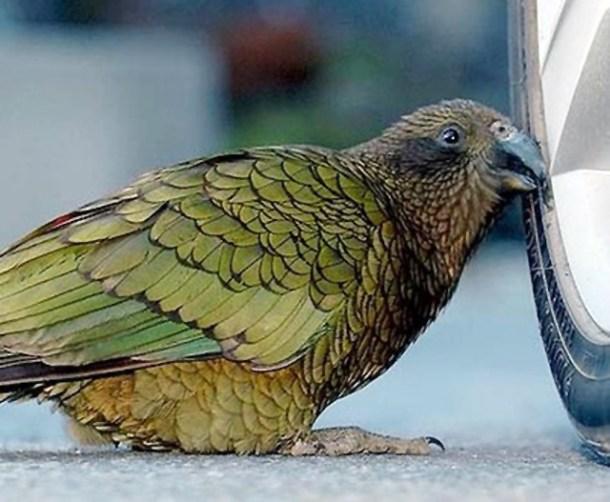 Ini dia, tersangka burung nuri kea yang mencuri uang turis.