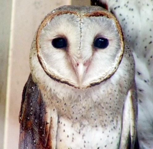 Ciri-ciri khusus burung hantu: Tyto alba