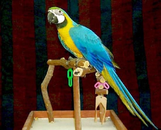 Blue and gold macaw: Umur 1 bulan seharga Rp 17 juta.