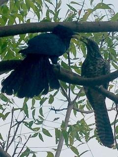 Sepasang burung tuwu