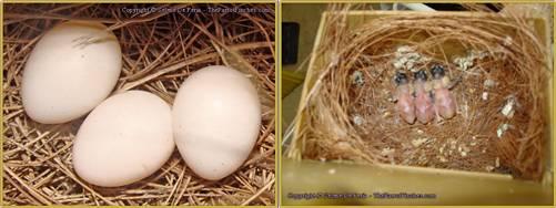 Setelah 13 hari telur akan menetas