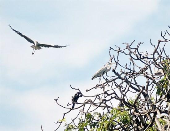 Seekor bangau terbang dengan eloknya. (Foto: Antara/Zabur Karuru)