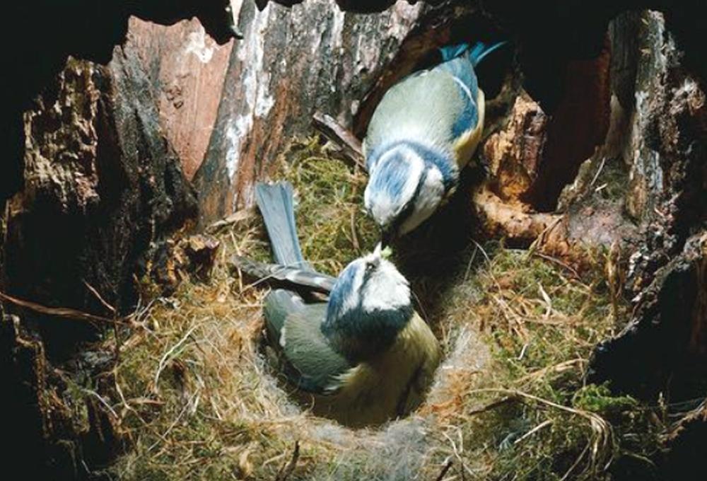 Gambar Burung Betina Ternyata Selingkuh Klub Blue Tit