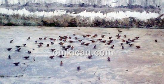 Kawanan burung gereja yang mampir ke halaman rumah Om Kelana Lana di Jambi.