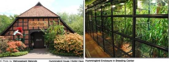 Penangkaran Kolibri di Belanda