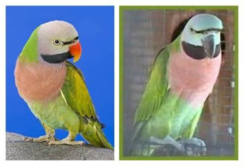 Burung betet jantan dewasa (kanan) dan burung betet betina dewasa (kiri)