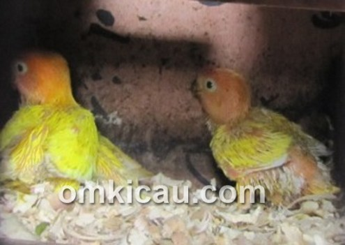 perawatan anakan lovebird