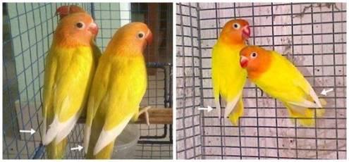 Bentuk ujung sayap yang berbeda bisa menjadi salah satu petunjuk bahwa burung tersebut sepasang