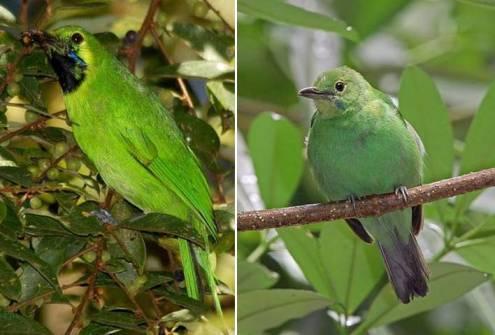 Pada burung jantan (kiri) bulu kuning berganti menjadi bulu hitam sedangkan betina bulu kuning menjadi putih