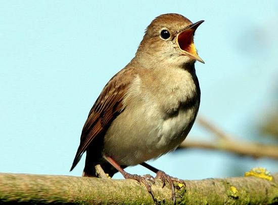 audio burung nightingale