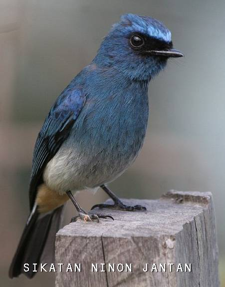 Download Suara Selendang Biru Mp3 : download, suara, selendang, Mengenal, Burung, Tledekan, Terpopular, KICAU