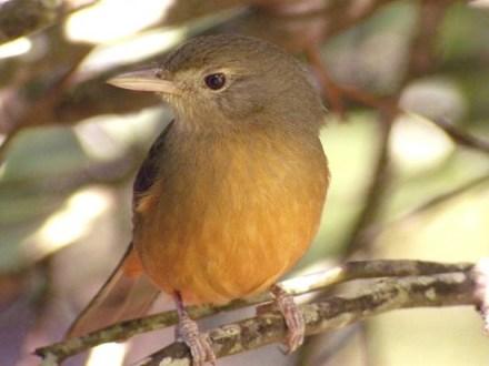 Little Shrikethrush (Colluricincla megarhyncha) si burung beracun