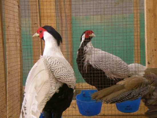 Pegar perak atau Silver pheasant