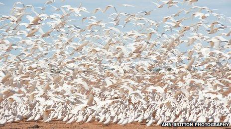 Ribuan kakatua putih yang berpindah karena kekeringan