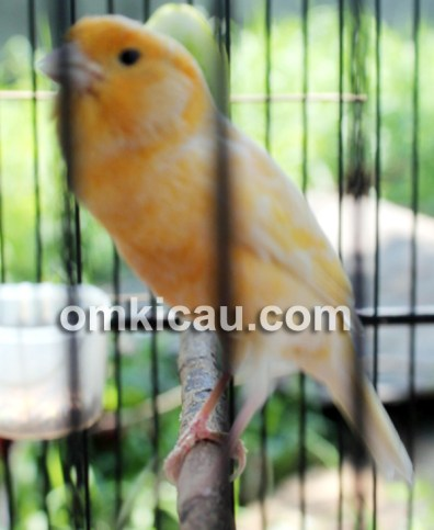 Burung kenari Cawank