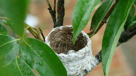 Sarang burung cipo yang berbentuk cangkir dengan telur didalamnya