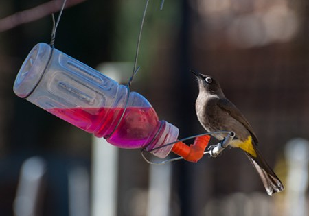 Contoh lainnya dari tempat minum burung dari botol