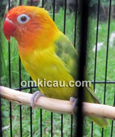 Lovebird Bule