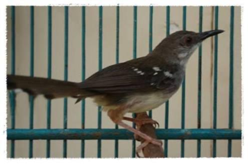 Burung ciblek yang semula gacor pun bisa mendadak macet bunyi.