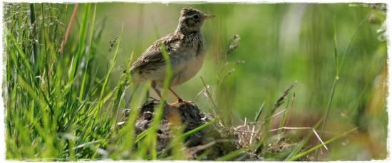 Download ragam suara kicauan burung branjangan