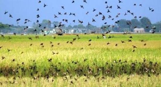 Burung emprit dengan bergerombol mereka akan memakan padi yang siap untuk dipanen.