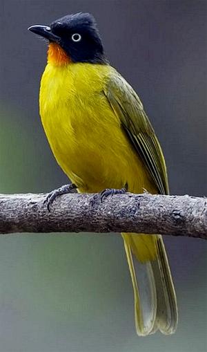 Burung Kutilang Emas: Ciri-ciri, Habitat, Suara, Makanan