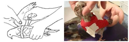 Cara memberikan perban pada burung yang mengalami sayap patah