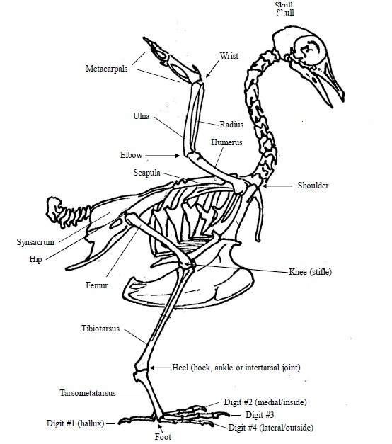 Menangani  merawat burung yang patah kaki  OM KICAU