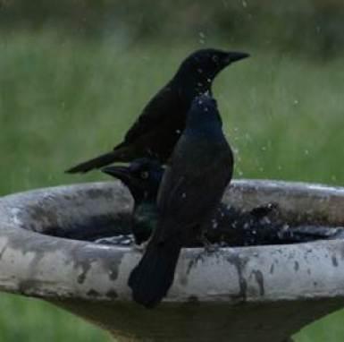 Burung blackbird yang sedang mandi di malam hari