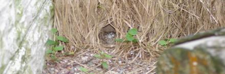 Burung yang sedang bersarang di sudut kandang