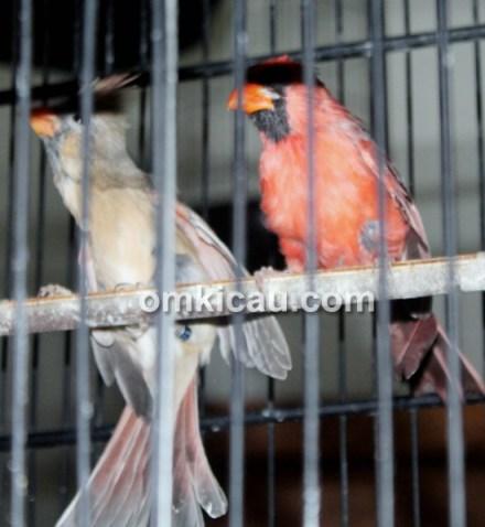 Pasangan burung kardinal