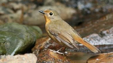 Burung tledekan gunung betina